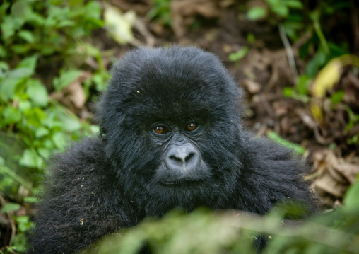 Baby gorilla in the jungle of the volcanoes national park, Northwest Province, Rehengeri, Rwanda