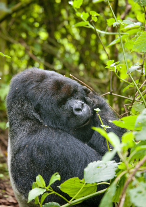 Gorilla  in volcanoes national park - rwanda
