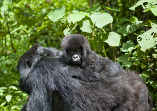 Gorilla with her baby in the jungle of the volcanoes national park, Northwest Province, Rehengeri, Rwanda