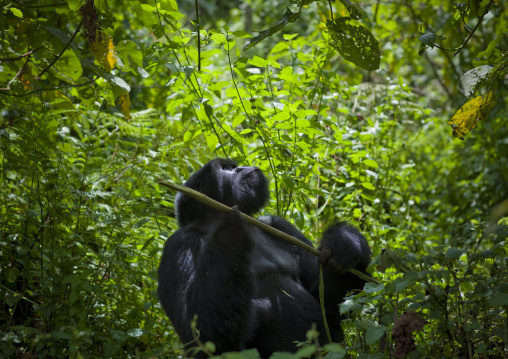 Gorilla in the jungle of the volcanoes national park, Northwest Province, Rehengeri, Rwanda