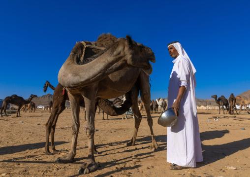 Saudi man miking a camel, Najran Province, Najran, Saudi Arabia