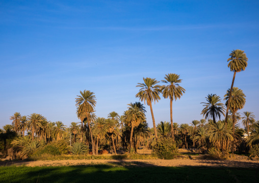 Palm trees in an oasis, Najran Province, Najran, Saudi Arabia