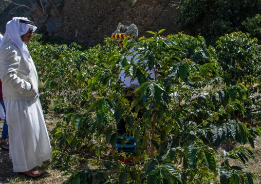 Saudi farmer in a coffee plantation, Jizan Province, Addayer, Saudi Arabia