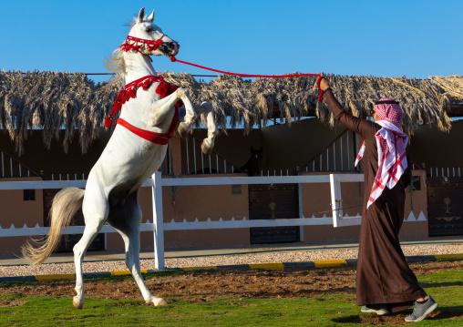 Arabian horse rearing up in alhazm stud, Najran Province, Khubash, Saudi Arabia