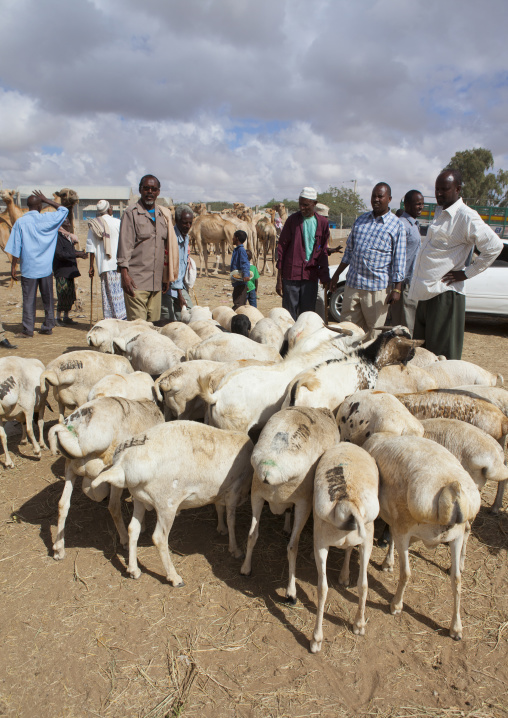 A flock of goats in the livestock market, Hargeisa, Somaliland