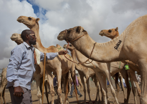 Camel trading in the livestock market, Hargeisa , Somaliland