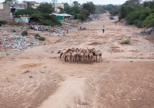 Camels in a dry river bed, Woqooyi galbeed region, Hargeisa, Somaliland
