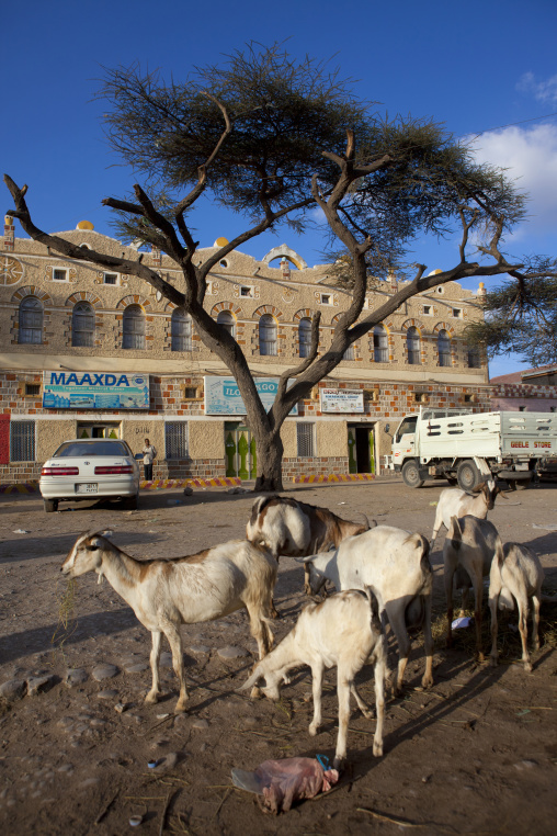 Goats grazing under a tree in front of an old building, Hargeisa, Somaliland