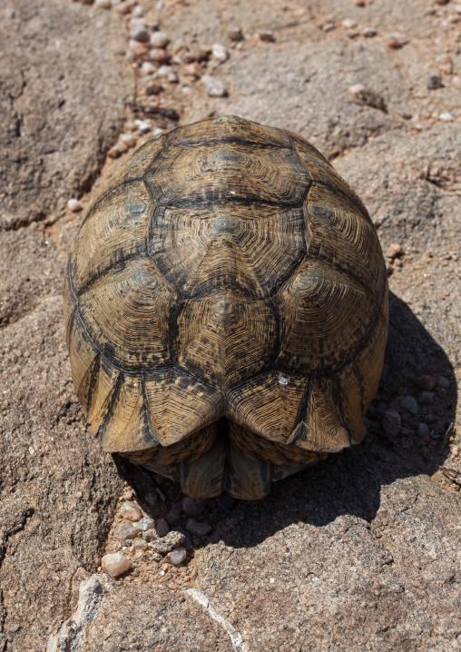 Turtle hiding in her shell, Woqooyi galbeed region, Hargeisa, Somaliland