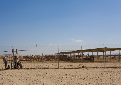 Fences around a camel farm, Berbera, Somaliland