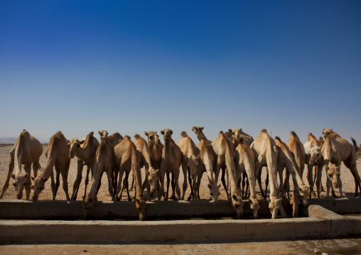 Camels from a camel farm are drinking in a row, Berbera, Somaliland