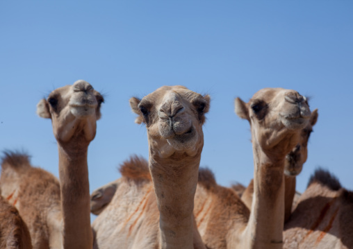 Camels drinking in a row in a camel farm, North-western province, Berbera, Somaliland