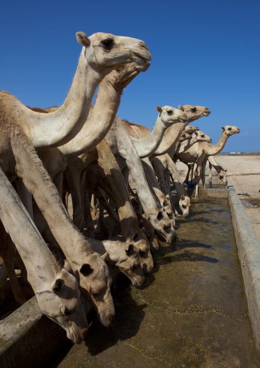 Camels drinking in a row in the berbera camel farm, Berbera, Somaliland