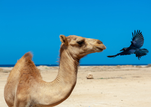 Camel and crow on a beach, North-western province, Berbera, Somaliland