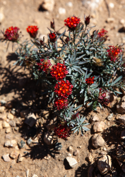 Red flowers in the desert, Togdheer, Sheikh, Somaliland