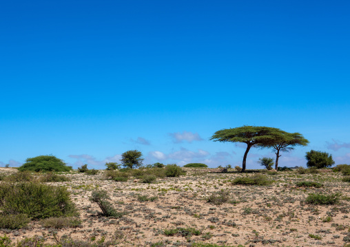 Acacias trees in the sheikh mountains, Togdheer, Sheikh, Somaliland