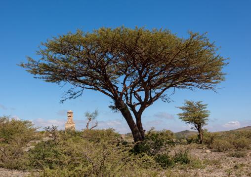 Acacia in the sheikh mountains, Togdheer, Sheikh, Somaliland
