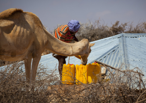 Man filling in yellow plastic containers and watering his camel in the desert well, Degehabur area, Somaliland