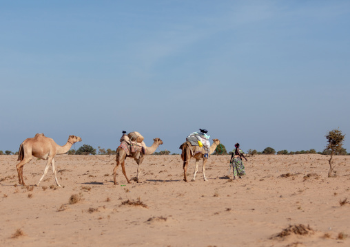 A somali woman transporting water in yellow containers through the desert on camels backs, Awdal region, Zeila, Somaliland