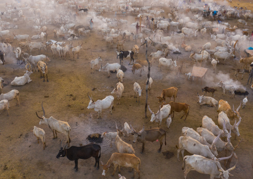 Aerial view of long horns cows in a Mundari tribe cattle camp, Central Equatoria, Terekeka, South Sudan