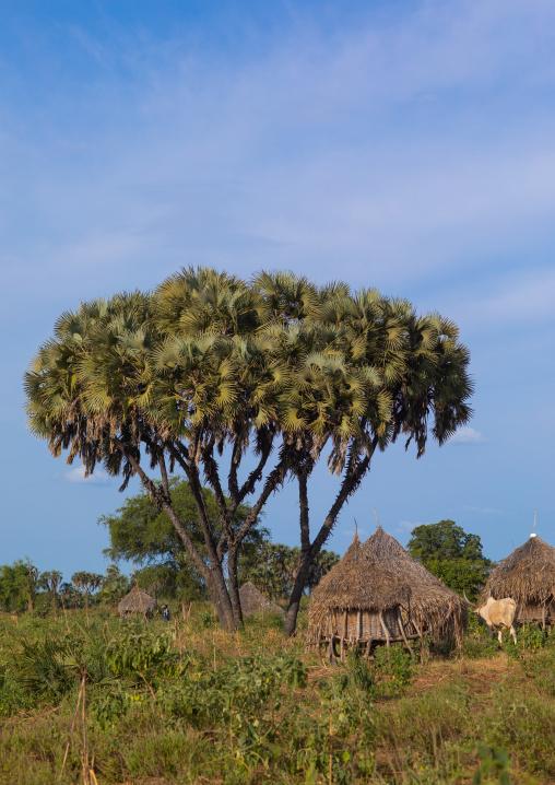 Traditional Mundari tribe village with doum palm trees, Central Equatoria, Terekeka, South Sudan