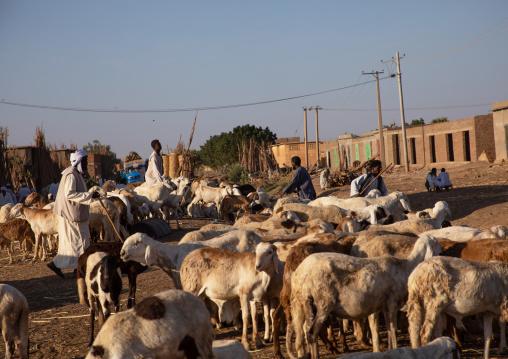 Flock of sheep in the city, Kassala State, Kassala, Sudan