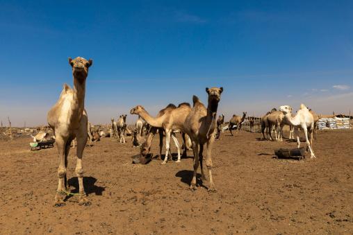 Camel market, Khartoum State, Omdurman, Sudan