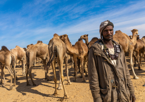 Sudanese camels herd, Nubia, Old Dongola, Sudan