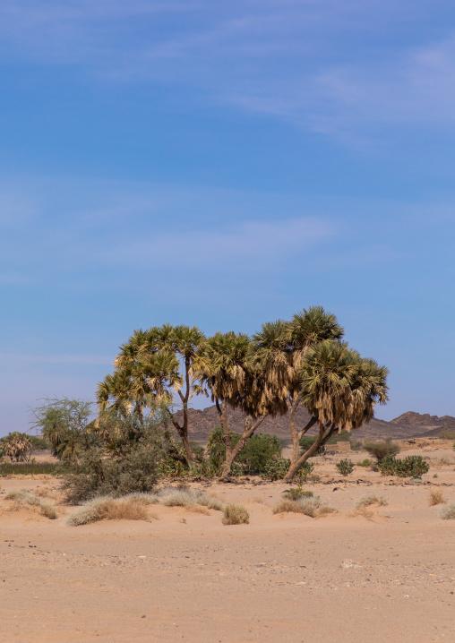 Plam trees in Bayoda desert, Northern State, Wadi Abu Dom, Sudan