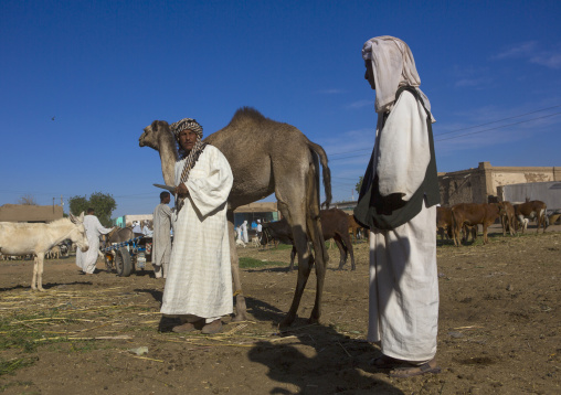 Sudan, Northern Province, Dongola, camel market