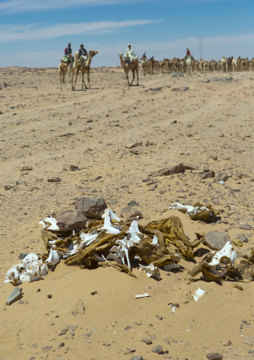 Sudan, Northern Province, Dongola, dead camel in front of a herd going to egypt