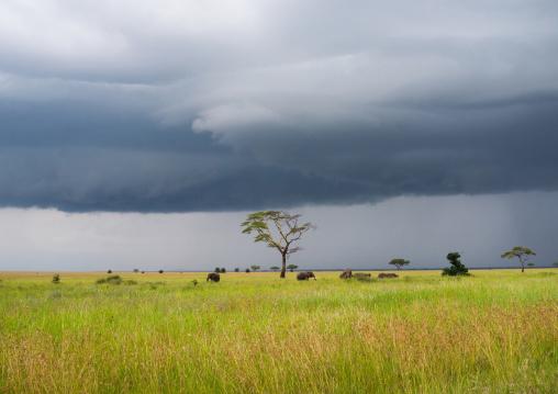 Tanzania, Mara, Serengeti National Park, african elephants (loxodonta africana) behind an acacia tree under a stormy sky