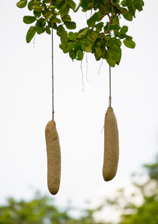 Tanzania, Park Manyara, Arusha, sausage tree fruits hanging from vines