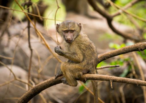 Tanzania, Park Manyara, Arusha, olive baboon (papiocynocephalus anubis)