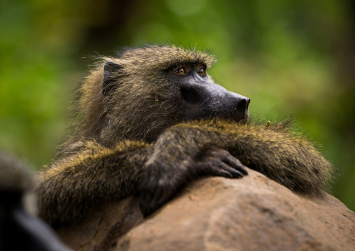 Tanzania, Park Manyara, Arusha, olive baboon (papiocynocephalus anubis) with crossed hands