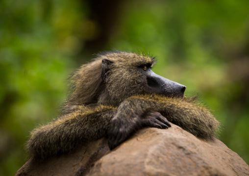 Tanzania, Park Manyara, Arusha, olive baboon (papiocynocephalus anubis) with crossed hands