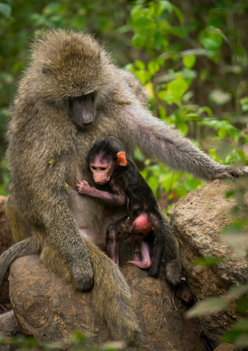 Tanzania, Park Manyara, Arusha, olive baboon adult with a baby (papio cynocephalus anubis)