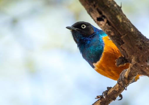 Tanzania, Park Manyara, Arusha, starling bird ona branch
