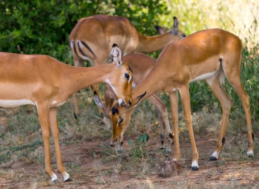 Tanzania, Park Manyara, Arusha, herd of female impalas (aepyceros melampus)
