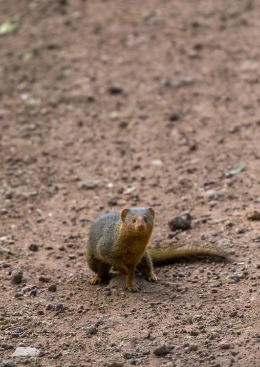 Tanzania, Park Manyara, Arusha, dwarf mongoose (helogale parvula)
