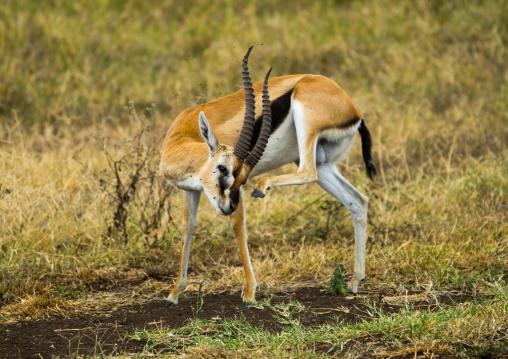 Tanzania, Arusha Region, Ngorongoro Conservation Area, male thomson's gazelle (gazella thomsonii) scratching