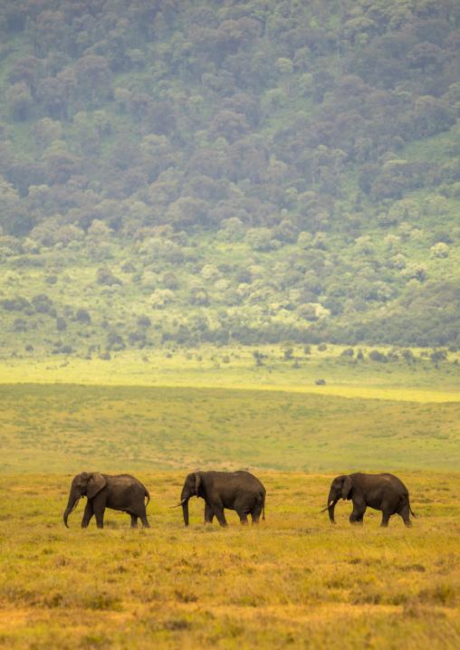 Tanzania, Arusha Region, Ngorongoro Conservation Area, african elephants (loxodonta africana)