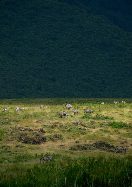 Tanzania, Arusha Region, Ngorongoro Conservation Area, zebras (equus burchellii) inside the crater