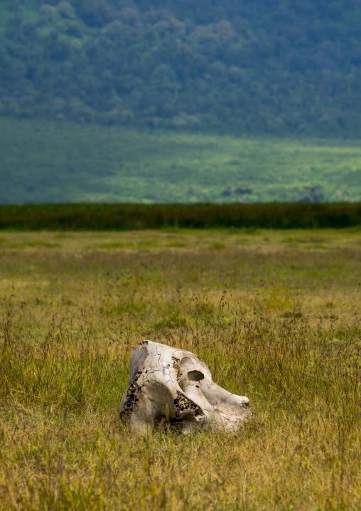 Tanzania, Arusha Region, Ngorongoro Conservation Area, african elephant (loxodonta africana) head skull