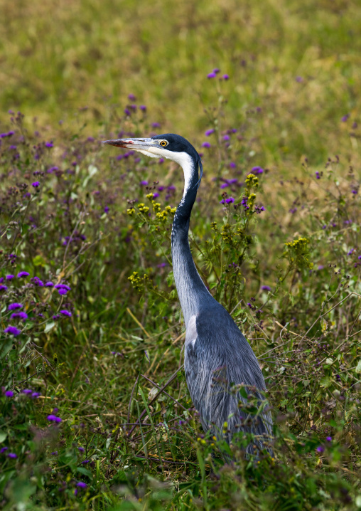 Tanzania, Arusha Region, Ngorongoro Conservation Area, black-headed heron (ardea melanocephala