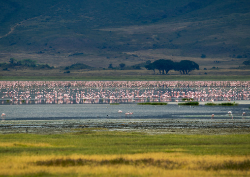 Tanzania, Arusha Region, Ngorongoro Conservation Area, lesser flamingoes in the crater