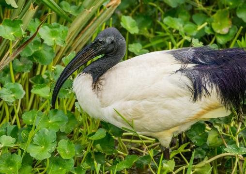 Tanzania, Arusha Region, Ngorongoro Conservation Area, black-headed ibis (threskiornis melanocephalus)