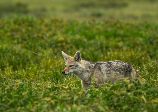 Tanzania, Mara, Serengeti National Park, black-backed jackal (canis mesomelas)