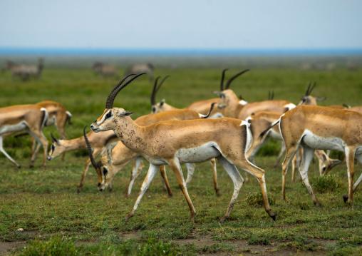 Tanzania, Mara, Serengeti National Park, male grant's gazelles (nanger granti) herd