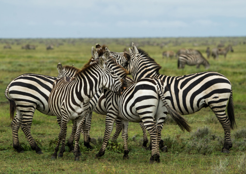 Tanzania, Mara, Serengeti National Park, a group of zebras (equus burchellii)